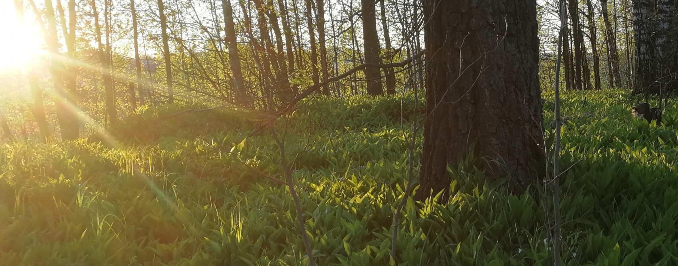 Aurinko paistaa keväiseen metsään